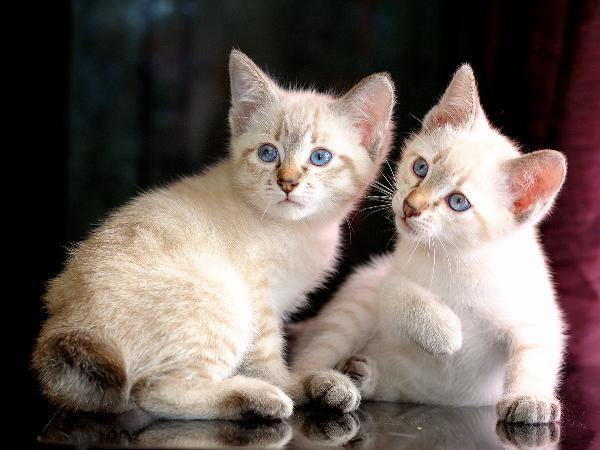 фото тайских котят