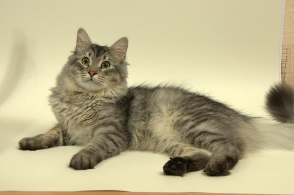 котята русской сибирской кошки