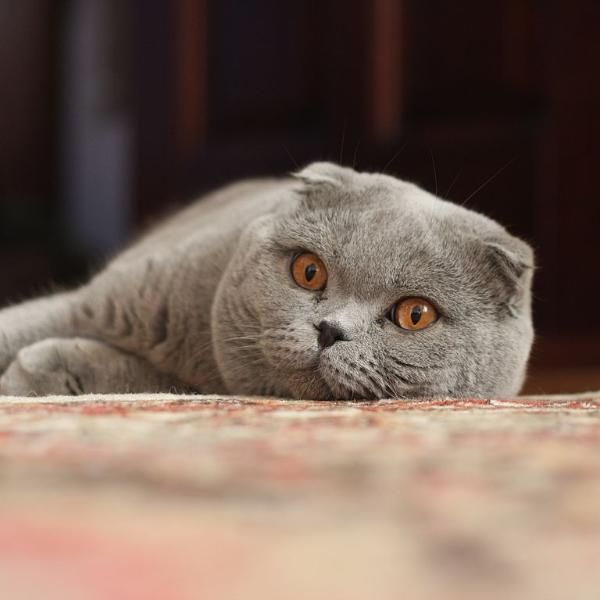 шотландская вислоухая кошка шерсть