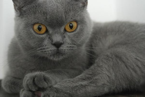 Британцы коты продолжительность жизни в