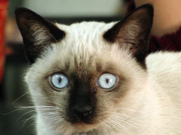 Имя для тайского кота мальчика
