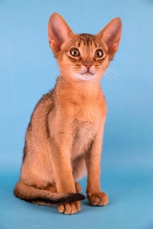 Имя для кота абиссинца